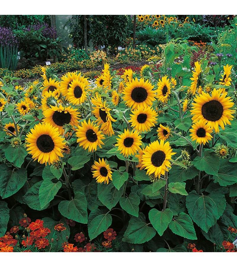 Mr Fothergill's Sunflower Little Dorrit F1 Seeds (25 Pack)