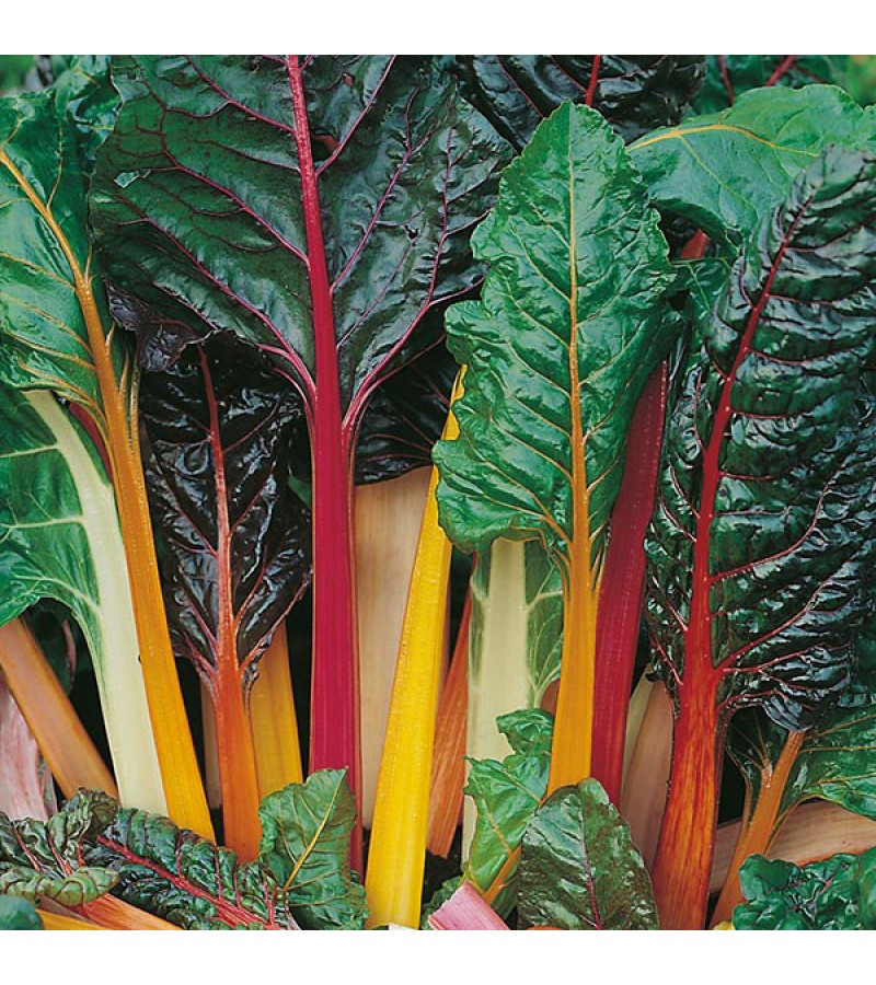 Mr Fothergill's Chard Bright Lights Seeds (150 Pack)