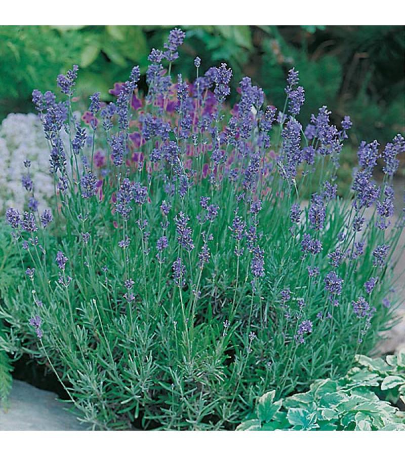 Mr Fothergill's Lavender Munstead Strain Seeds (150 Pack)