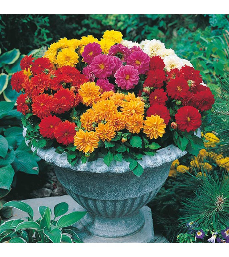 Mr Fothergill's Dahlia Dwarf Double Mixed (50 Pack)