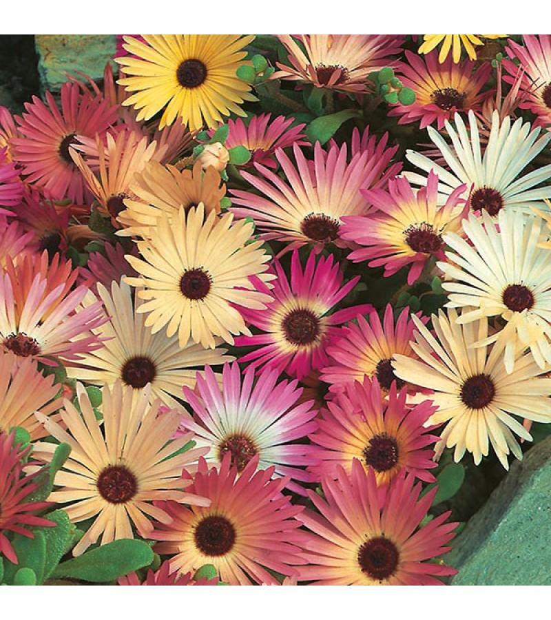 Mr Fothergill's Mesembryanthemum Livingstone Daisy Mixed Seeds (2000 Pack)