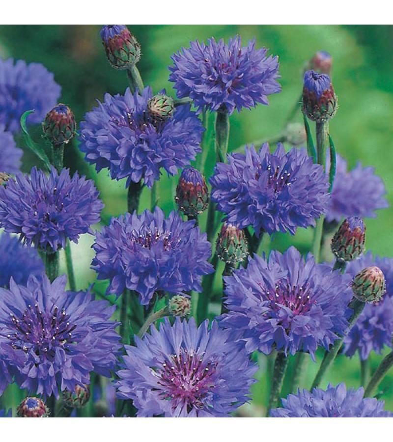 Mr Fothergill's Cornflower Blue Ball Seeds (250 Pack)