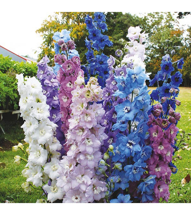 Mr Fothergill's Delphinium High Society Mixed F1 Seeds (25 Pack)