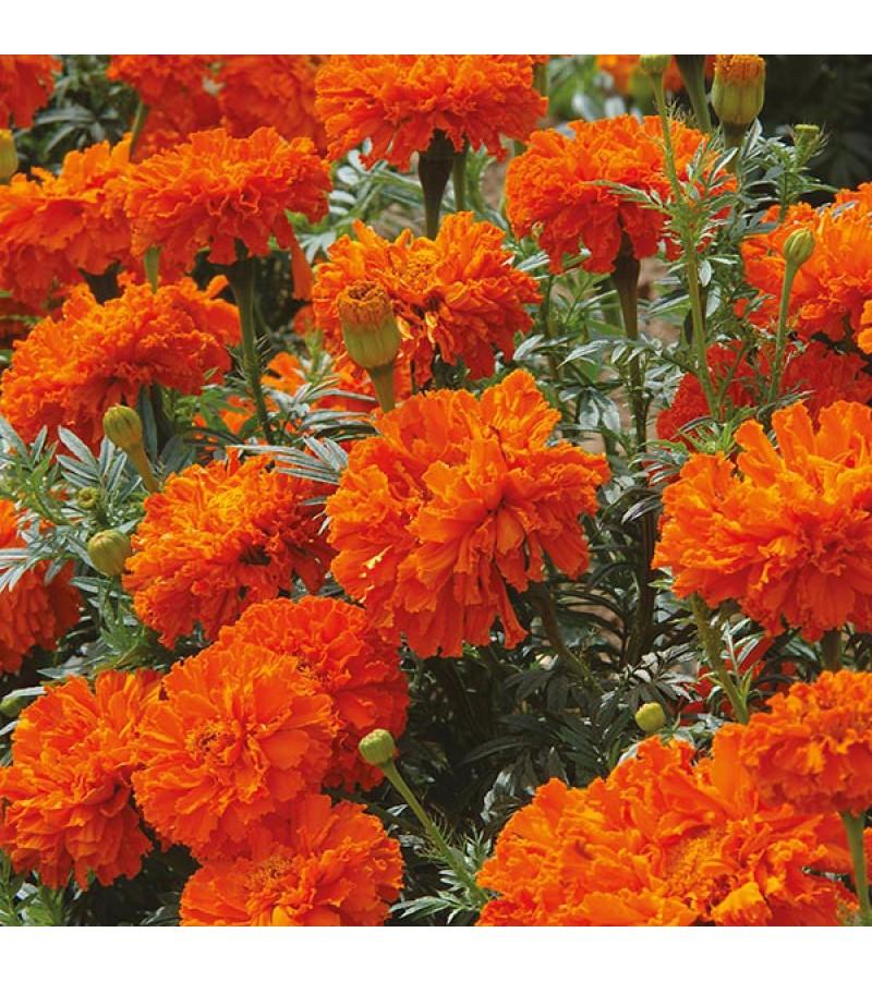 Mr Fothergill's Marigold (African) Kees' Orange Seeds