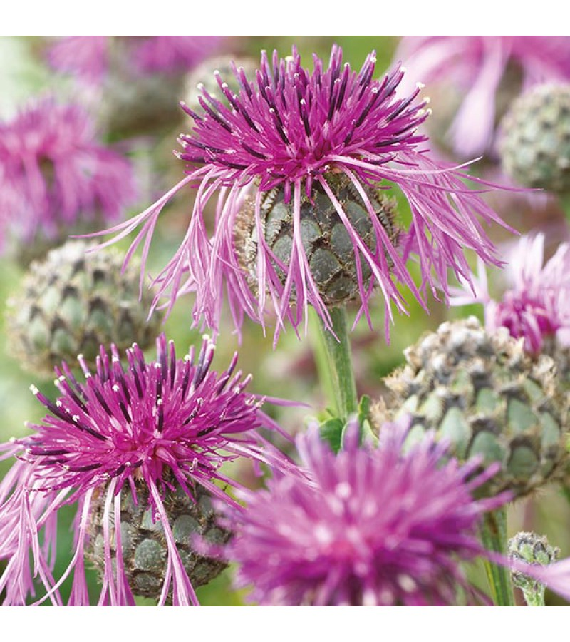 Mr Fothergill's Greater Knapweed Seeds (100 Pack)