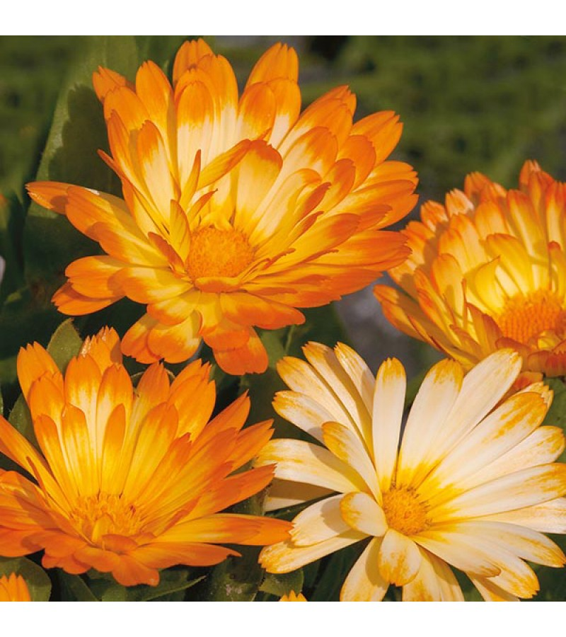 Mr Fothergill's Calendula Oopsy Daisy Seeds