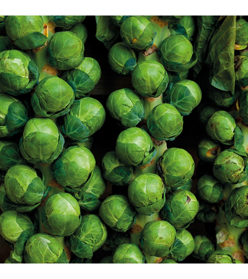 Mr Fothergill's Brussels Sprout Brodie F1 Seeds (40 Pack)