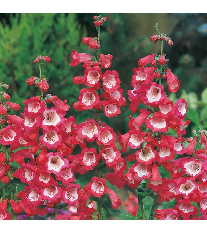 Mr Fothergill's Penstemon Scarlet Queen Seeds (500 Pack)