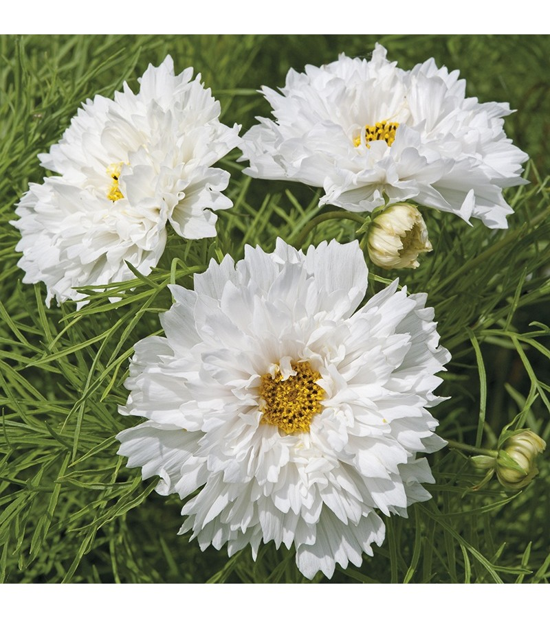 Mr Fothergill's Cosmos Double Dutch White (50 Pack)