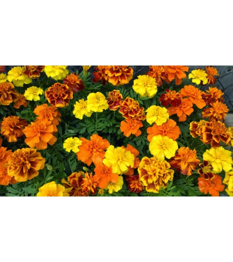 Mr Fothergill's Marigold (French) Dwarf Double Mixed