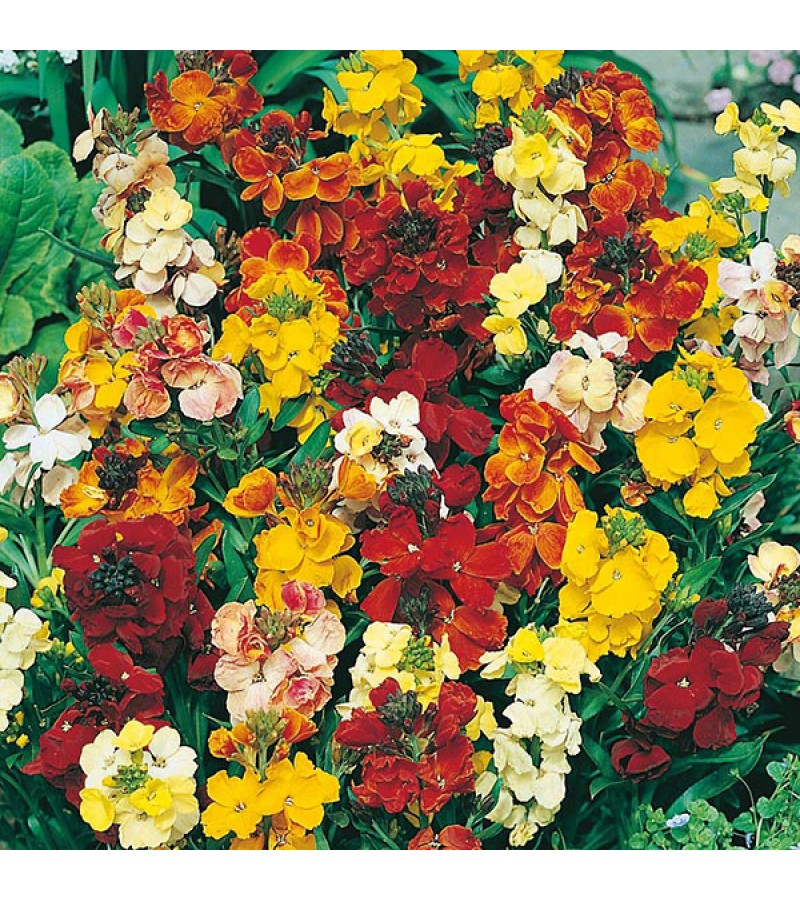 Mr Fothergill's Wallflower Monarch Fair Lady Mix Seeds (500 Pack)