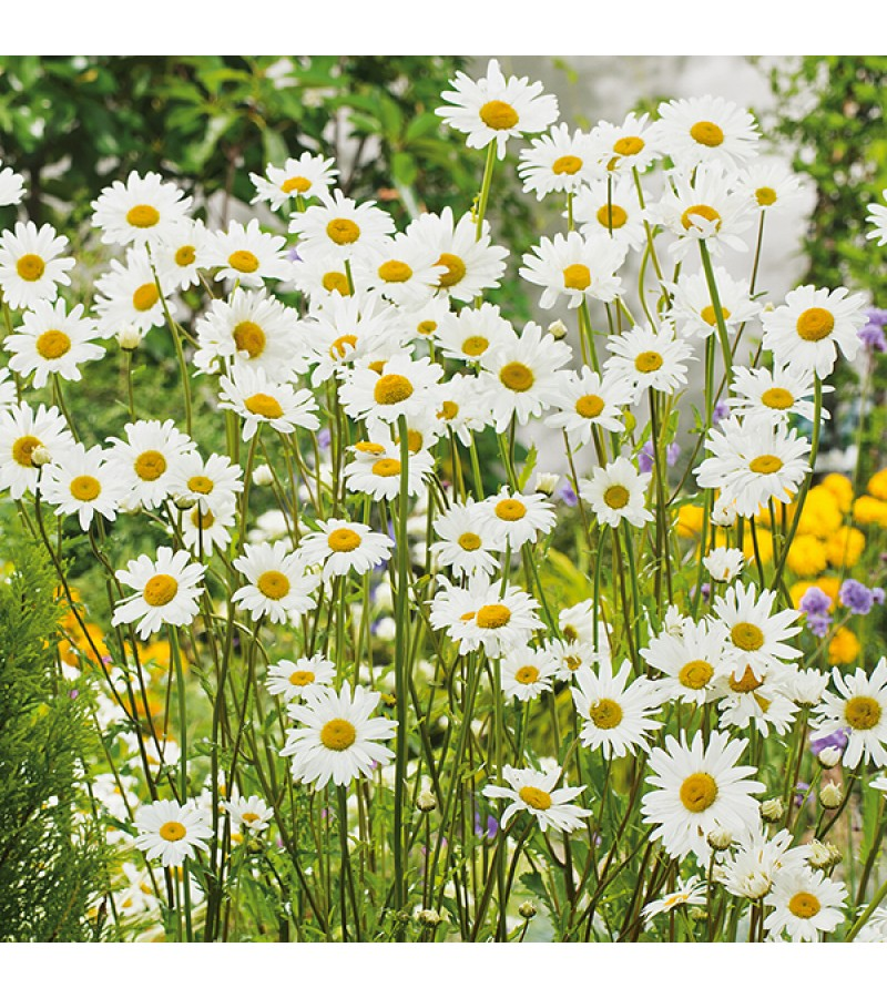 Mr Fothergill's Oxeye Daisy Plants (5 Young Plants)