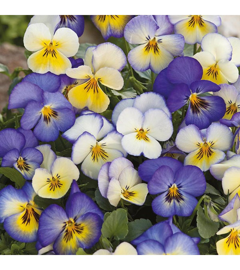 Mr Fothergill's Pansy Cool Summer Breeze Seeds (30 Pack)