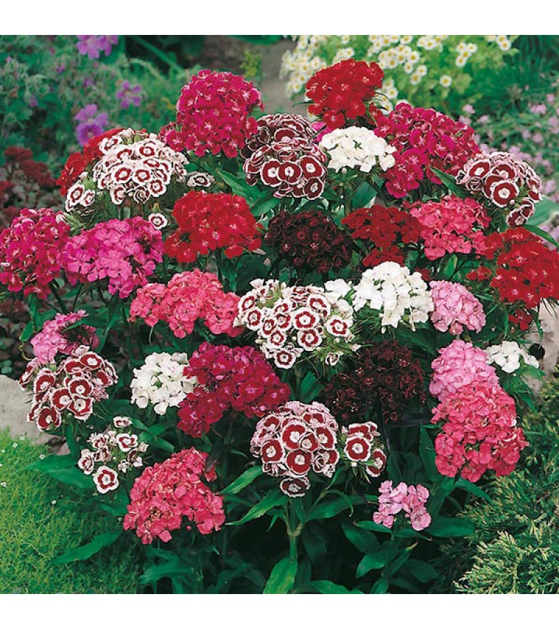 Mr Fothergill's Sweet William Single Mixed Seeds (500 Pack)