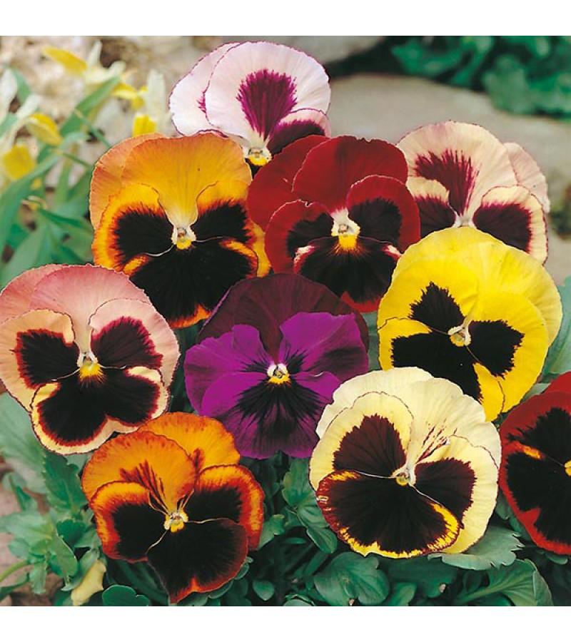 Mr Fothergill's Pansy Swiss Giants Mixed Seeds (150 Pack)