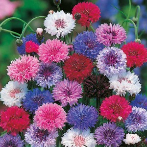 Mr Fothergill's Cornflower Tall Mixed Seeds (500 Pack)
