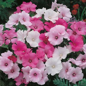 Mr Fothergill's Lavatera Parade Mixed Seeds (75 Pack)