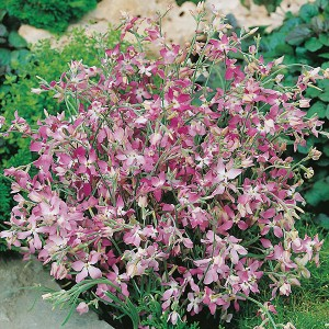 Mr Fothergill's Stock Night Scented Seeds (1500 Pack)