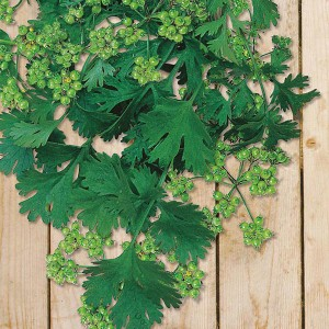 Mr Fothergill's Coriander for Seed (150 Pack)