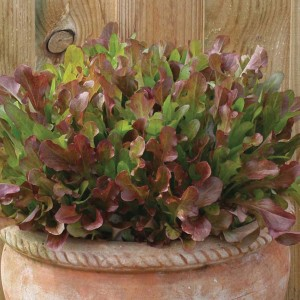 Mr Fothergill's Lettuce Mixed Red Salad Leaves (1000 Pack)