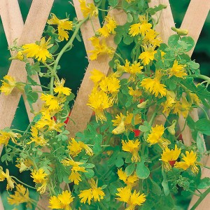 Mr Fothergill's Canary Creeper (25 Pack)