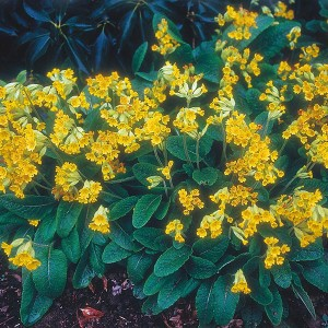 Mr Fothergill's Primula Cowslip Seeds (75 Pack)