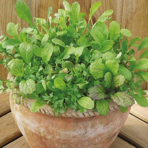 Mr Fothergill's Salad Leaves Mesclun Mixed (500 Pack)