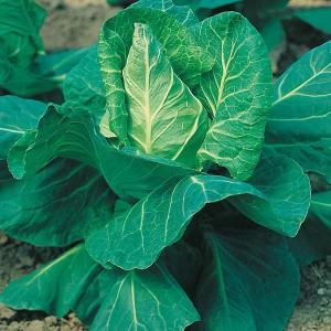 Mr Fothergill's Cabbage Hispi F1 Seeds (50 Pack)