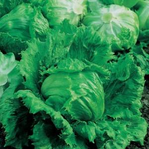 Mr Fothergill's Lettuce Lakeland (750 Pack)