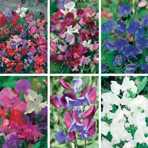 Mr Fothergill's Sweet Pea Seed Collection (6 Sachet)