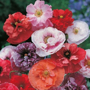 Mr Fothergill's Poppy Dawn Chorus Seeds (500 Pack)