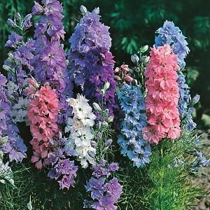 Mr Fothergill's Larkspur Hyacinth Dwarf Mixed Seeds (300 Pack)