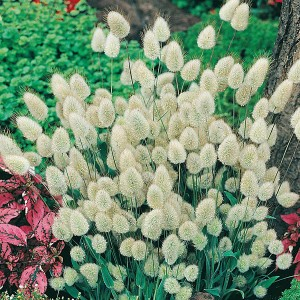 Mr Fothergill's Grass Bunny Tails Seeds (200 Pack)