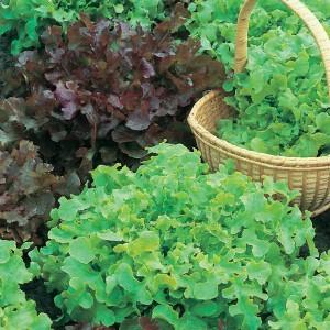 Mr Fothergill's Lettuce Red & Green Salad Bowl Mix (1250 Pack)