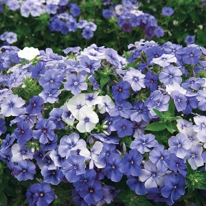 Mr Fothergill's Phlox Moody Blues Seeds (175 Pack)