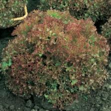 Mr Fothergill's Lettuce Lollo Rossa (750 Pack)