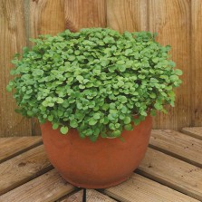 Mr Fothergill's Salad Leaves Watercress Aqua Seeds (1000 Pack)