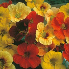 Mr Fothergill's Nasturtium Tip Top Mixed Seeds (25 Pack)