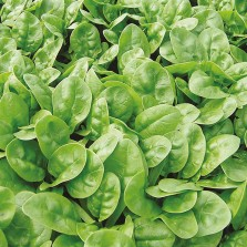 Mr Fothergill's Spinach Emilia F1 Seeds (300 Pack)