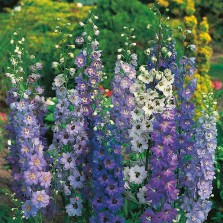 Mr Fothergill's Delphinium Pacific Giants Mixed (100 Pack)