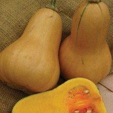 Mr Fothergill's Squash (Butternut) Hawk F1 Seeds (10 Pack)