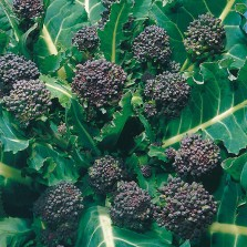 Mr Fothergill's Broccoli (Sprouting) Early Purple Sprouting Seeds (500 Pack)