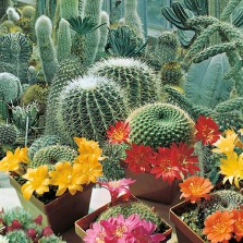 Mr Fothergill's Cactus Flowers of the Desert