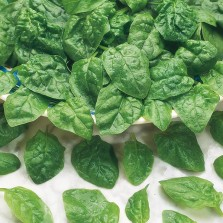Mr Fothergill's Spinach Samish F1 Seeds (250 Pack)