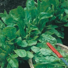 Mr Fothergill's Beet Leaf Perpetual Spinach Seeds (250 Pack)