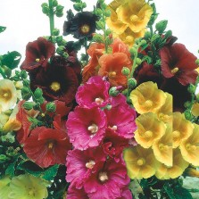 Mr Fothergill's Hollyhock Giant Single Mixed Seeds (50 Pack)