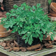 Mr Fothergill's Parsley Plain Leaved 2 Seeds (1000 Pack)