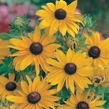 Mr Fothergill's Rudbeckia Marmalade Seeds (500 Pack)