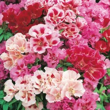 Mr Fothergill's Godetia Azalea Flowered Mixed Seeds (750 Pack)