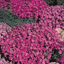 Mr Fothergill's Aubrietia Rich Rose Seeds (200 Pack)